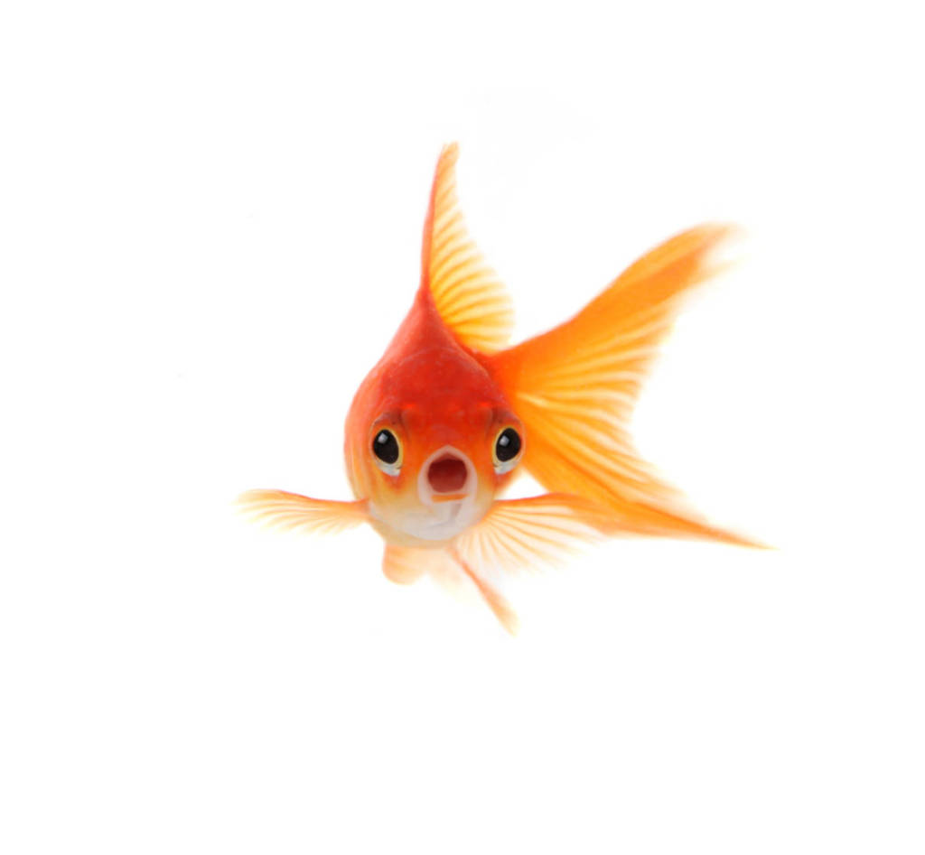 goldfish-animal-myths