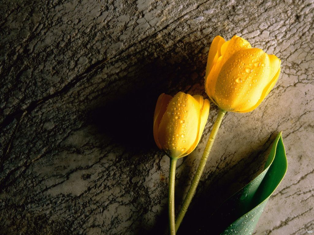 Flowers-Two-Wet-Yellow-Tulips