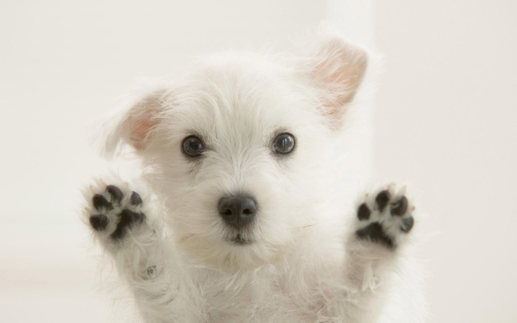 Close-up of a West Highland White Terrier puppy looking through a window
